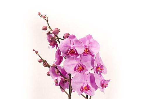 Cuidado básico para las Orquídeas