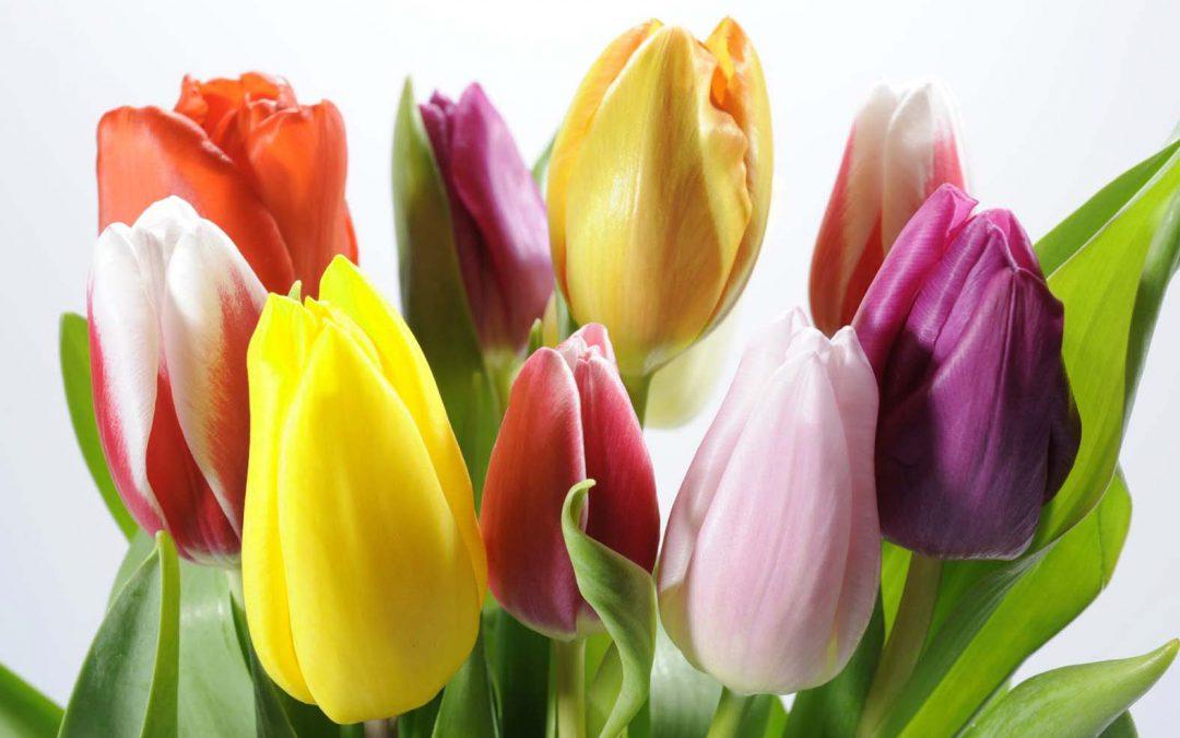¿Qué sabes del cuidado de los tulipanes?